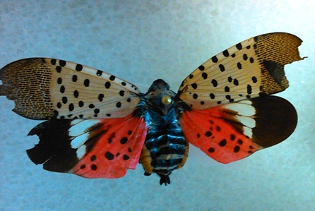 spotted lanternfly1
